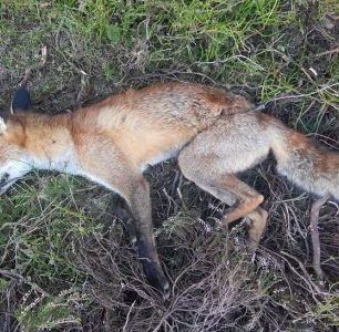 fox-in-snare