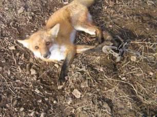 fox-in-trap-3352