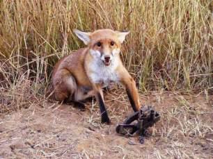 fox-in-trap-8823