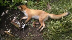 fox-in-trap-8834