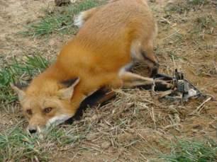 fox-in-trap-993845