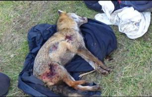 fox-killed-885632