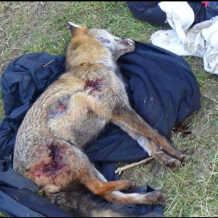 fox-killed-885632