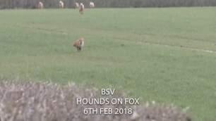 fox-running-from-hounds