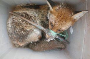 fox-tied-up-22287