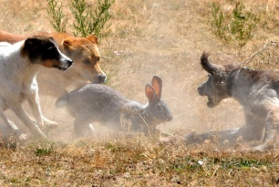 hare-hunting-88345