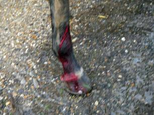 horse-leg-injury-88345