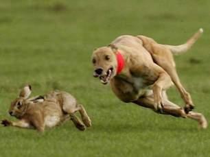 hound-chasing-hare-22299