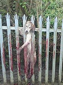Welsh hound