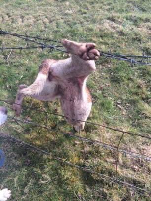 hound-in-wire-73941