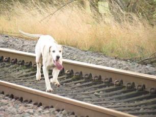 hound-on-railway-22999933