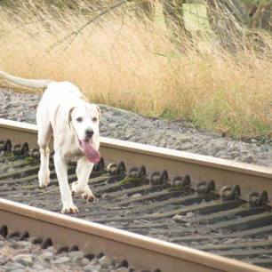 hound-on-railway-22999933