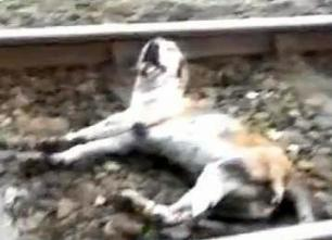 hound-run-over-by-train-22233