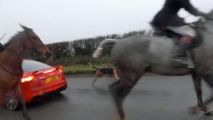 hounds-and-horses-on-road
