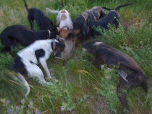 hounds-attack-88345