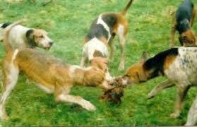 hounds-attack-fox-55588