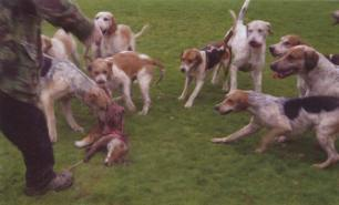 hounds-attack-fox-77121