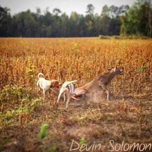 hounds-attacking-deer-77348