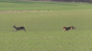 hounds-attacking-deer-882367
