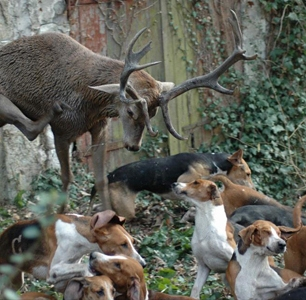 hounds-hunting-stag-99345