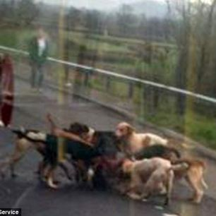 hounds-kill-fox-infront-of-bus