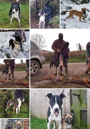 hounds-killing-foxes-55673