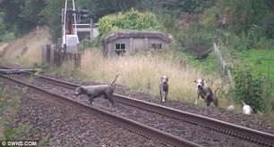 hounds-on-railway-line-6644