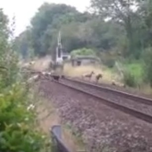 hounds-on-railway-line-somersetfox