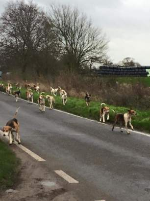 hounds-on-road-339567