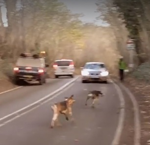 hounds-on-road-38233