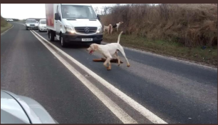 hounds-on-road-55573