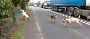hounds-on-roads-88234