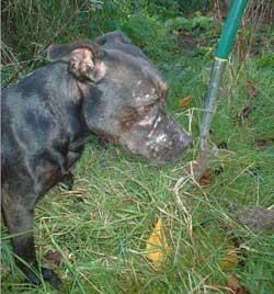 hunt-terrier-dog-28346