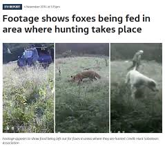 hunts-feeding-foxes-88234