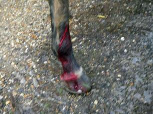 injured-leg-horse-66112