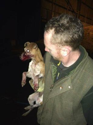 injured-terrier-88264