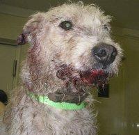 injuried-terrier-55292