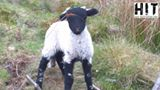 lamb in snare