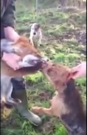 neil-pinkerton-terrier-mauls-fox