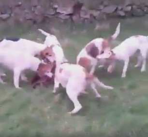 pack-of-hounds-rip-fox-apart