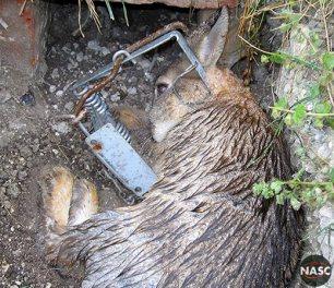 rabbit-fenn-trap