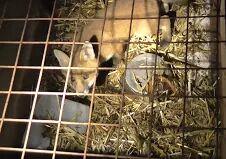 reared-fox-22734