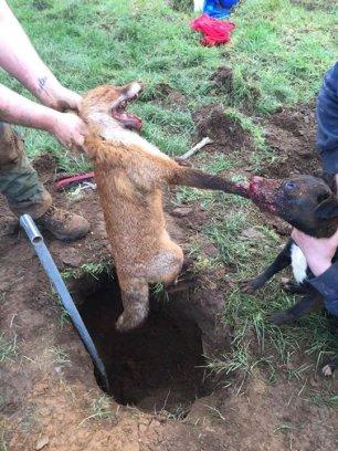 terrier-attacking-fox-882734