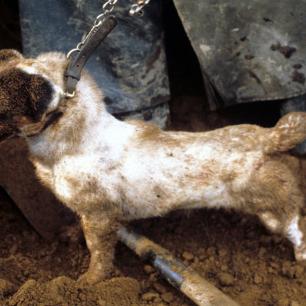 terrier-dog-77234