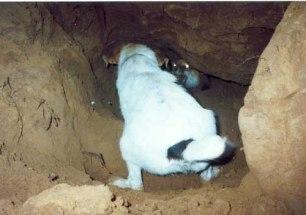 terrier-fighting-fox-229955