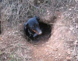 terrier-in-hole-888222