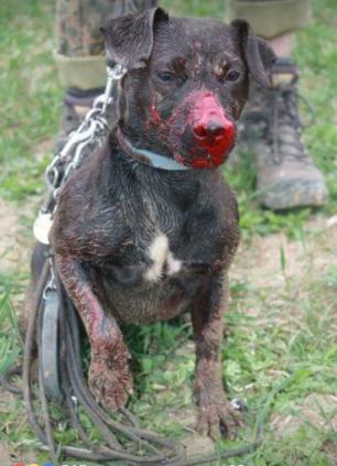 terrier-injured-442786