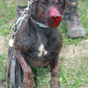 terrier-injured-442786