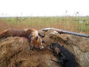 terriers-kill-fox-222228