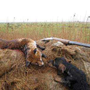 terriers-kill-fox-222228